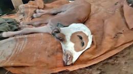 تصاویری دیدنی از متولد شدن گوساله دو سر در اندونزی