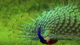 100 عکس خارق العاده از زیباترین طاووس های جهان