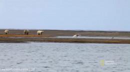 ویدیو بسیار زیبا از بازی و شنا کردن خرس های قطبی