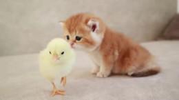 زندگی در کنار هم بچه گربه با جوجه