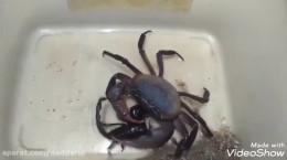 جنگ خرچنگ با عقرب سیاه