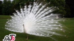 تصاویری از زیباترین طاووس سفید