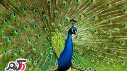 عکس هایی از طاووس بسیار زیبا و رنگارنگ