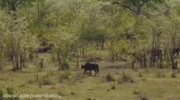 فیلم مستند دیدنی بسیار زیبا از جنگ و شکار شیرها و حیوانات حیات وحش افریقا