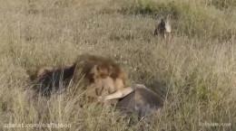 کلیپ شکار حیوانات درنده