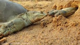 کلیپی از لاکپشت ماهی خوار