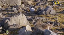 مستند مرغ ساحلی نوک دراز قرمز