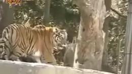 جنگ های شیر و ببر در حیات وحش