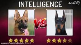 مقایسه سگ ژرمن شپرد و دوبرمن