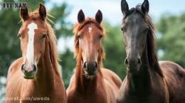 آشنایی با اسب نژاد ترکمن