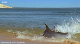 روش جالب شکار کردن دلفین ها