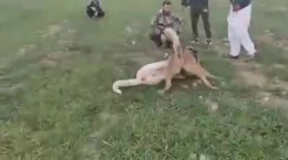 نبرد بین سگ های سرابی وحشی