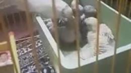کلیپ دیدنی از لحظه غذا دادن مرغ عشق به جوجه هاش