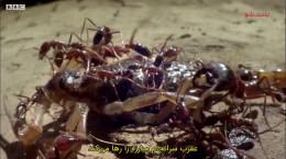 مستند کوتاه مورچه ارتش