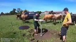 نصب ابزار برای خاراندن گاو