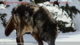 مستند کوتاه حیات وحش گرگ شکارچی