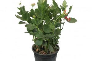 چگونه گیاه کالانکوئه را تکثیر و نگهداری کنیم؟
