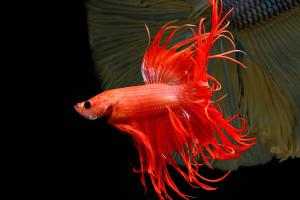 تعیین جنسیت در ماهی چگونه انجام می شود؟