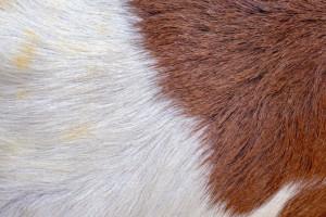 چرم بزی بهتر است یا گاوی ؟