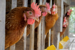 بیماری کانیبالیسم (همدیگر خوری و خودخوری)در پرندگان + راه درمان