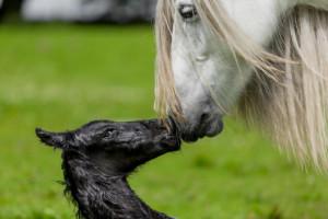 بیماری های ادراری و اندام تناسلی اسب + درمان آن