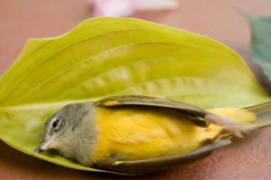 آشنایی با بیماری پاچکو (مرگ ناگهانی) در پرندگان + راه درمان