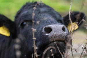 دلیل داغ کردن بینی حیوانات چیست؟
