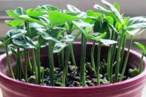 آموزش مرحله به مرحله کاشت سبزه لوبیا قرمز