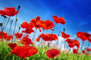 معنای رنگ های مختلف گل شقایق : گل شقایق نشانه چیست ؟