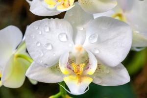 معنی رنگ های مختلف گل ارکیده : گل ارکیده نماد چیست ؟