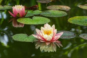 معنای گل نیلوفر آبی : گل نیلوفر نماد چیست ؟