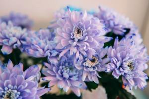 معنی رنگ های مختلف گل داوودی : گل داوودی نماد چیست ؟