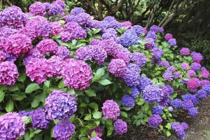 معنای رنگ های مختلف گل هورتانسیا : گل ادریسی نماد چیست ؟