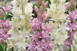 معنای رنگ های مختلف گل مریم : گل مریم نماد چیست ؟