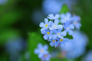 آشنایی با گل فراموشم نکن و اصول کاشت و نگهداری از آن