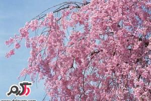 عکس شکوفه های بهاری خوشبو