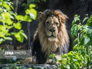 نام شیر نرِ آسیایی منتقل شده از انگلیس از کامران به هرمان تغییر یافت