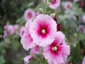 خاصیت گل ختمی سفید و صورتی + خواص گل ختمی برای پوست صورت و مو
