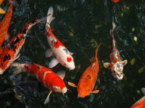 ماهی کوی یا کپور گلگون  شرایط پرورش و نگهداری از ماهی کوی