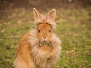 کنه ها باعث عفونت گوش خرگوش می شوند