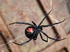 اطلاعات کامل از عنکبوت قاتل یا بیوه سیاه