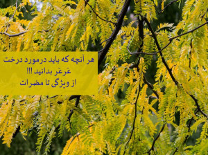 هر آنچه که باید درمورد درخت عَرعَر بدانید !!! از ویژگی تا مضرات
