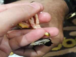 علت، پیشگیری و درمان پای مرغ مینا   علت نوک زدن شدید مینا به پایش