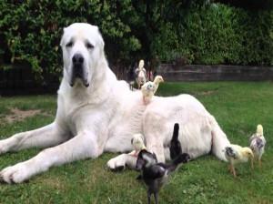 آشنایی با نژاد سگ آلابای