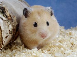 معرفی همه نژادهای همستر و محبوب ترین آنها