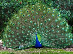 راهنمای پرورش و نگهداری طاووس