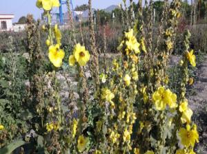 آشنایی با گل ماهور و خواص آن