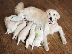 آشنایی با مدت زمان دوره بارداری سگ و نشانه های آن