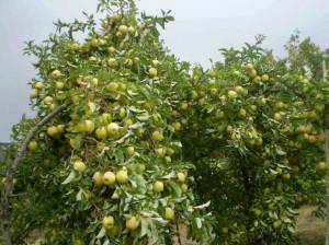 راهنمای کاشت و تکثیر درخت گلابی