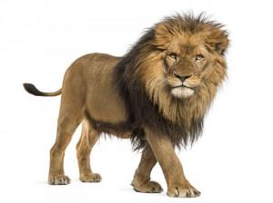 شیر جنگل در خواب:  ۴۵ نشانه و تعبیر خواب شیر جنگل